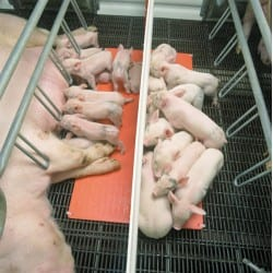 Ontario Hog Farmer: Researcher Finds Piglet Heating Economies
