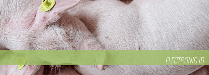 Electronic ID Tags for Swine