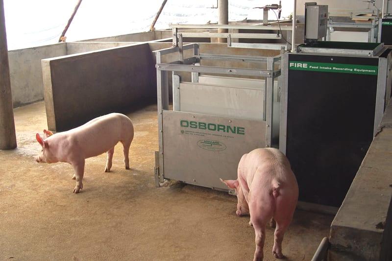 Fire Automatic Pig Feeding System Osborne Livestock
