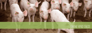 Swine RFID Tags