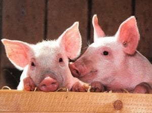 Pig Housing Requirements