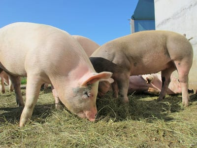 The Average Market Weight of Pigs in 2018 | Osborne Industries