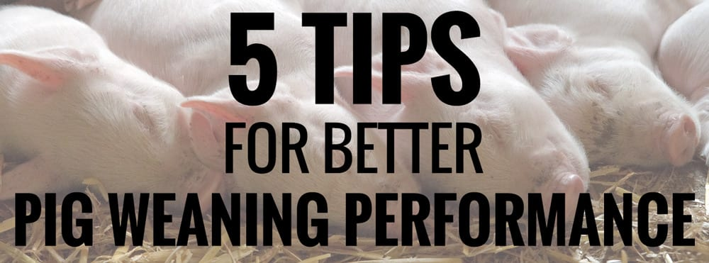 Pig Weaning Performance Tips