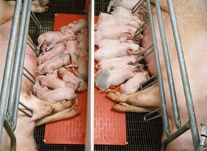 Piglet Heating Pads | Sow Farrowing