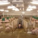 automatic pig sorting